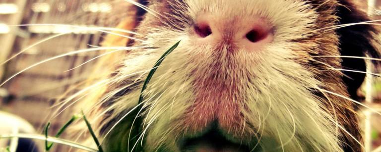 Finch, mein Meerschwein