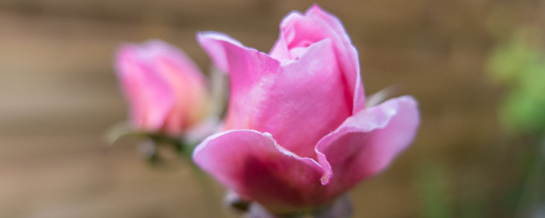 Beitragsbild_2000x800_rose